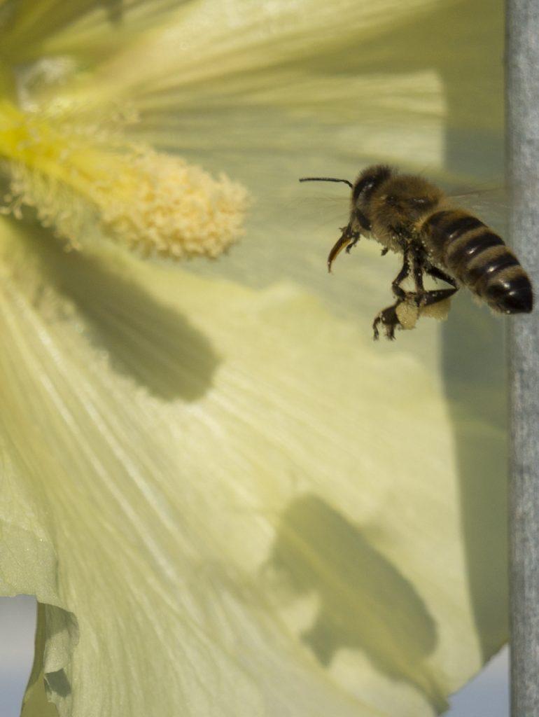Blume Biene Schatten