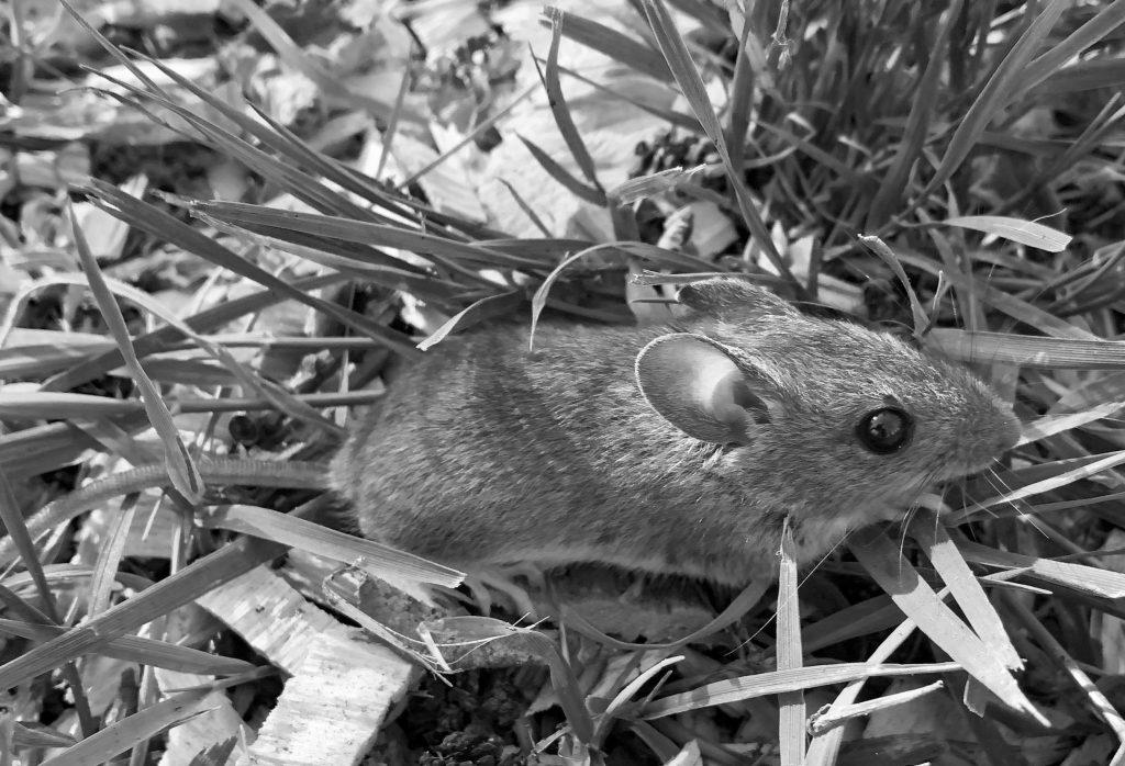 Bilder in schwarz-weiß, Maus