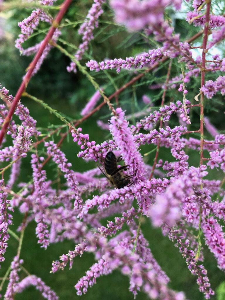 Blüten Biene